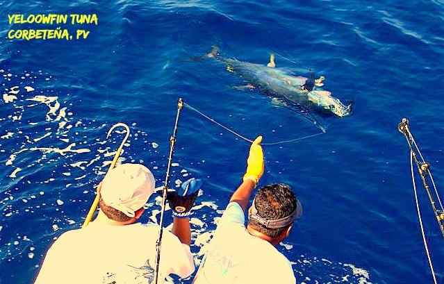 09 18 2014 Yellowfin Tuna Monster 600 pxls